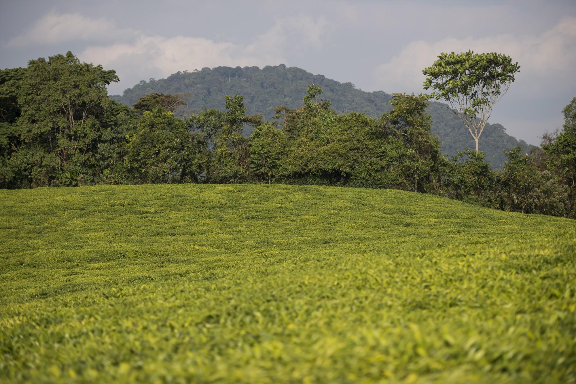 Champs de thé de Gisakura