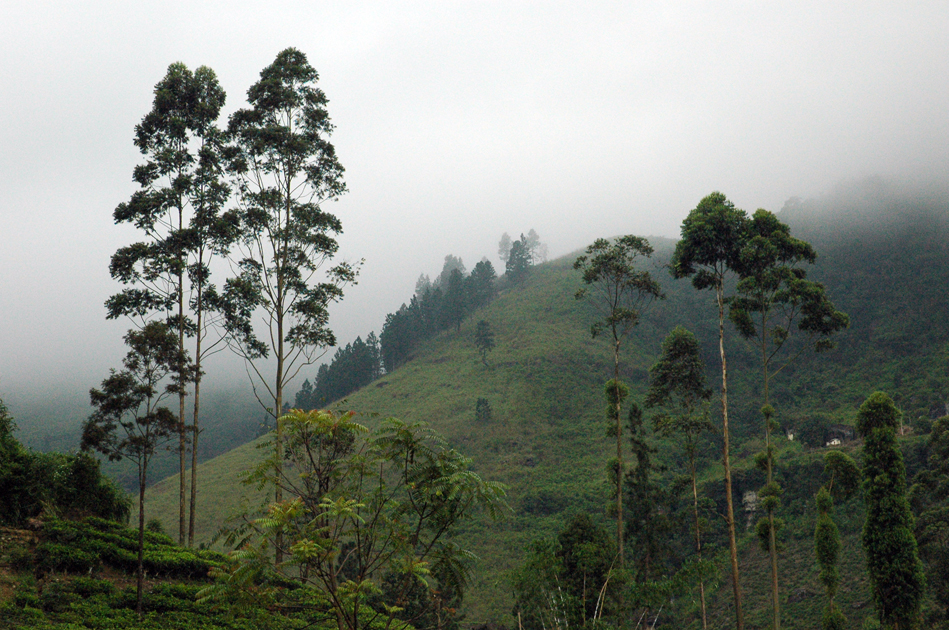 Tea fields, Nowara Eliya, Sri Lanka